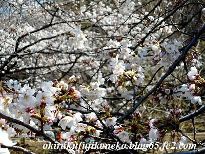 325桜5