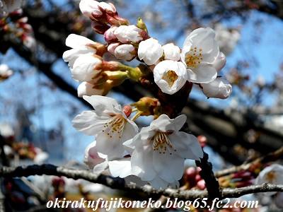 325桜6