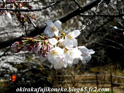 325桜7