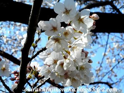 325桜8