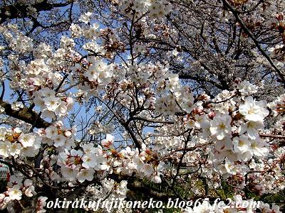 328桜3