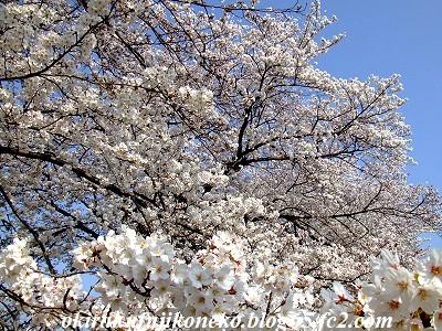 328桜4