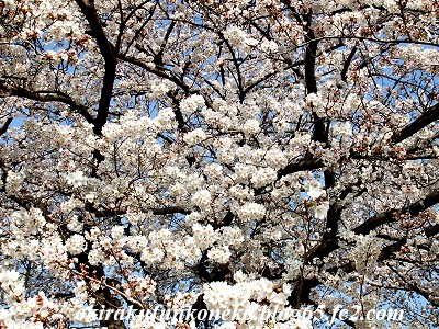 328桜5