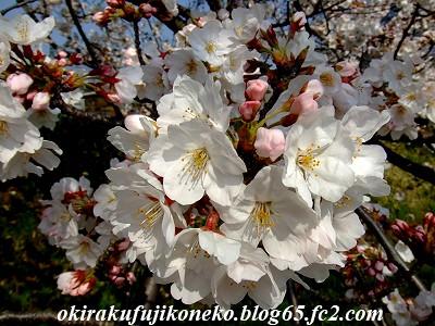 328桜6