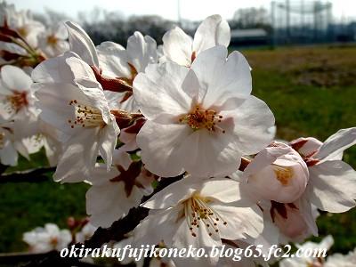 328桜7