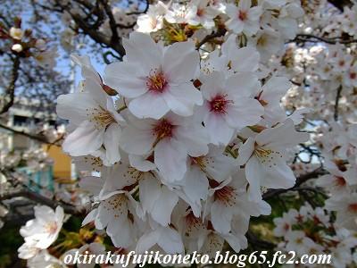 331桜8