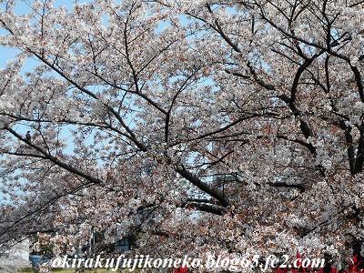 401井沼方桜3