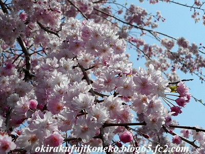 401井沼方桜4