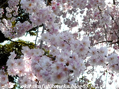 401井沼方桜5