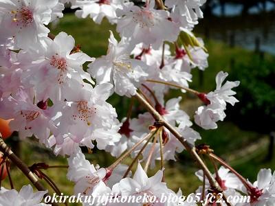 401井沼方桜6