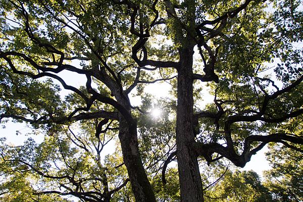 川原神社御神木の楠