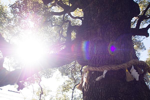 星宮社御神木のクスノキ