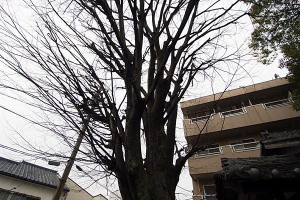豊若宮八幡社イチョウの木