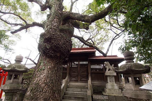 御替地神明社本殿前の楠の御神木