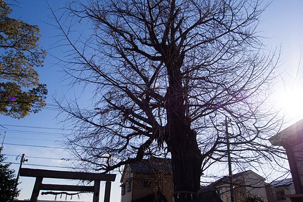 源兵衛須佐之男神社イチョウの木