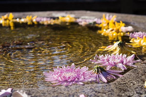 桃厳寺菊の花