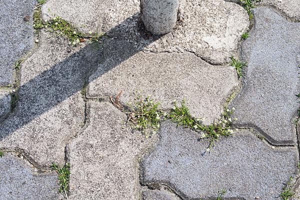 道に咲くミドリハコベ