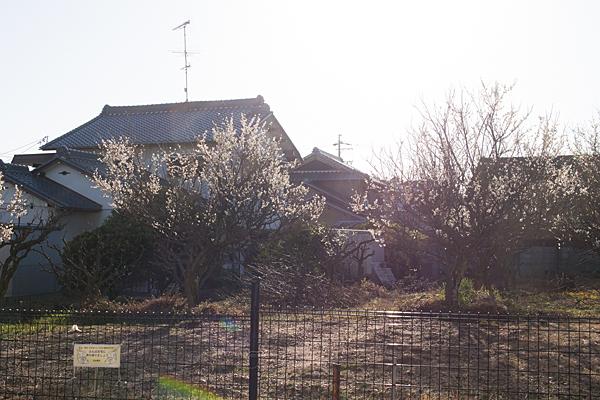 畑の梅と西日