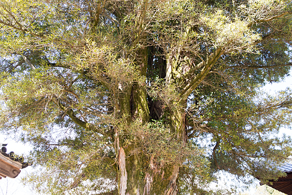 犬山寂光院保存樹