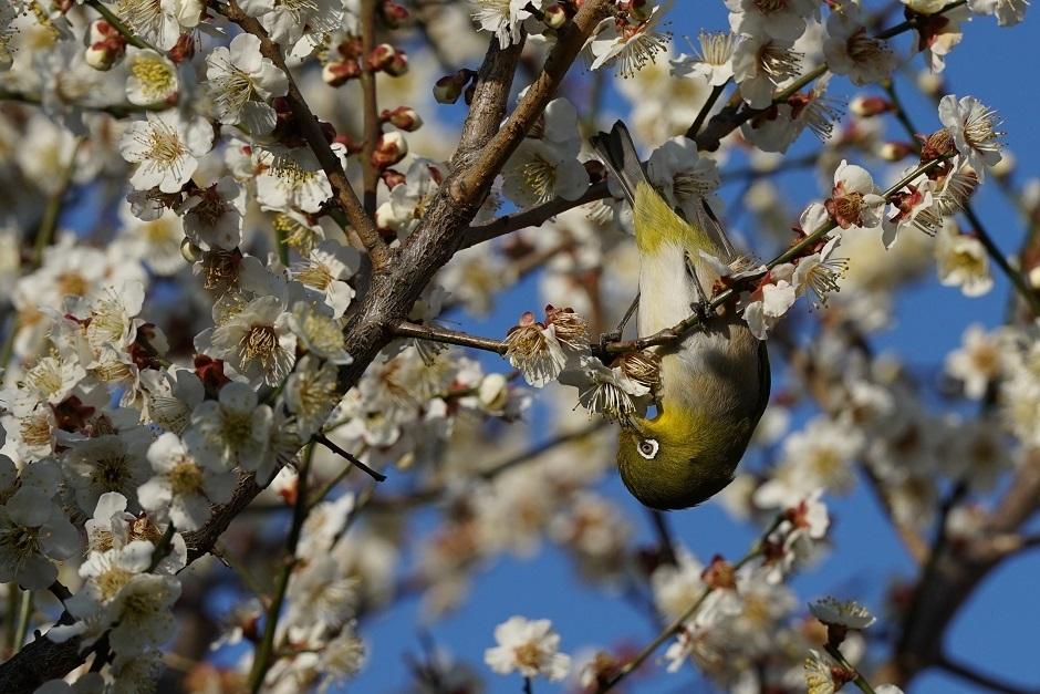 梅は満開メジロ20180304s
