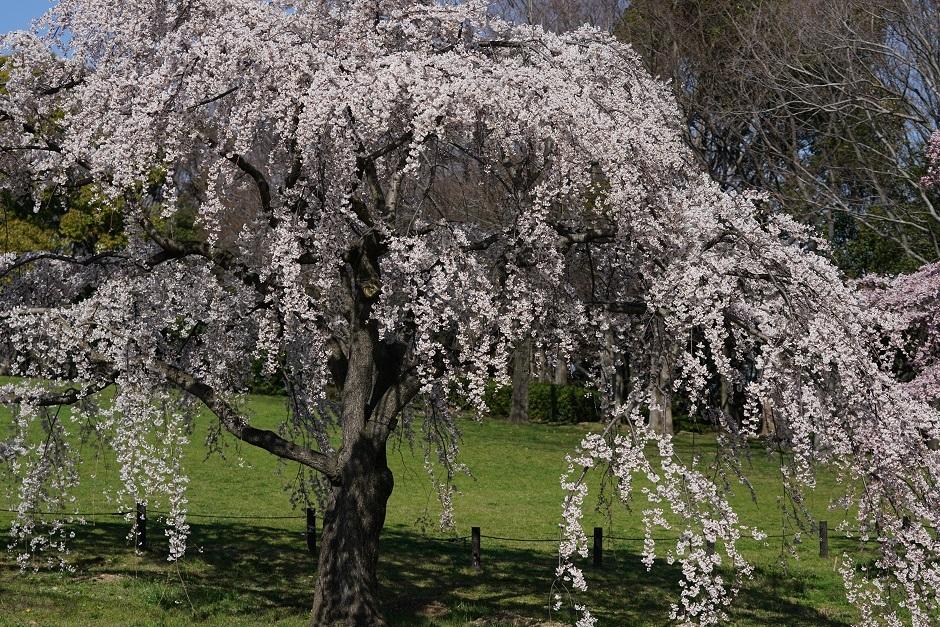 桜一重白彼岸枝垂20180324as