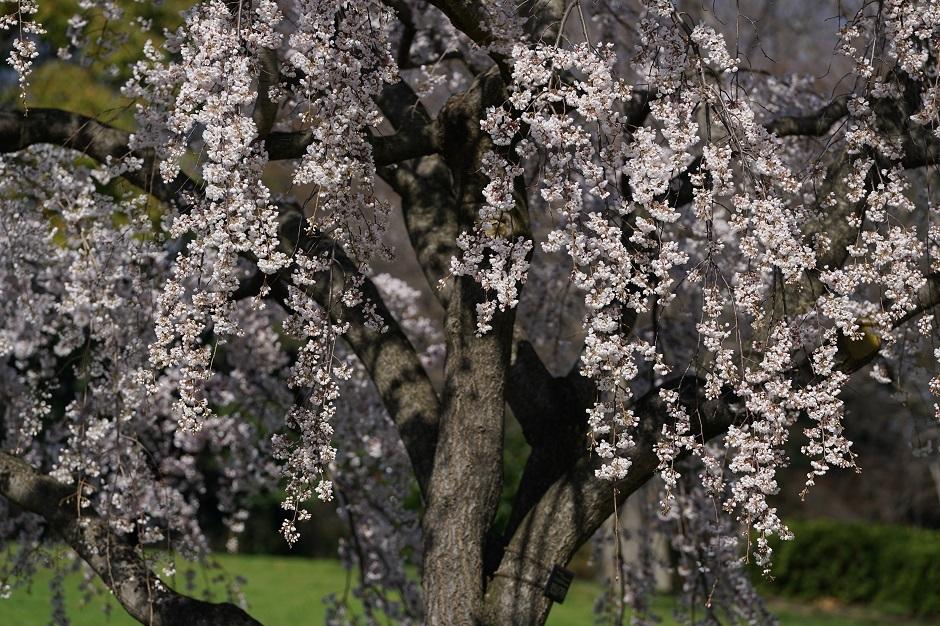 桜一重白彼岸枝垂20180324bs
