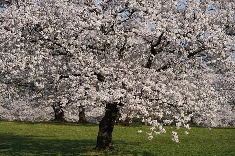 さまざまの事思ひ出す桜かな芭蕉大阪府堺市大泉緑地20180329as