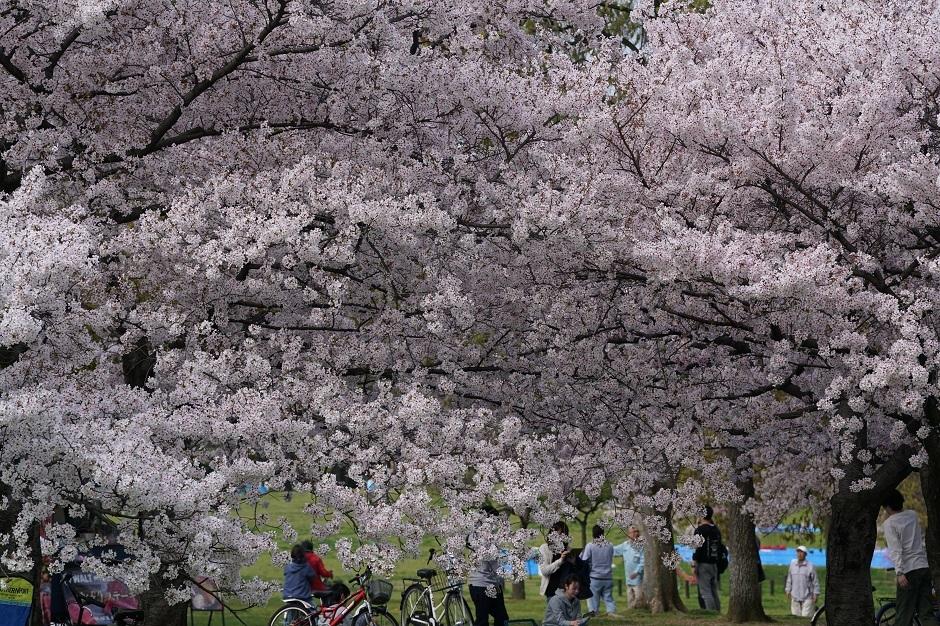 花見日和ということで大仙公園大阪府堺市20180401bs