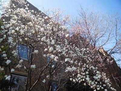 こぶしと桜2