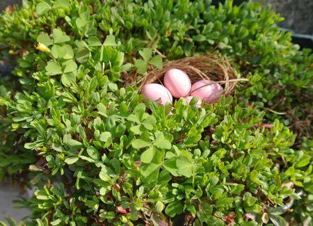 オキザリスの卵
