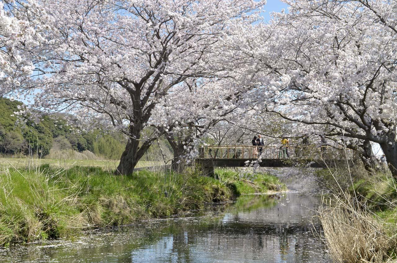 _D709876今井の桜