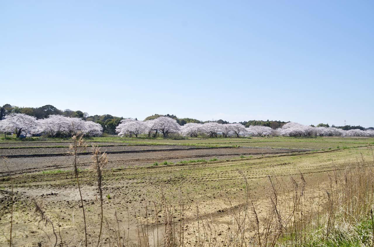 _D709801今井の桜
