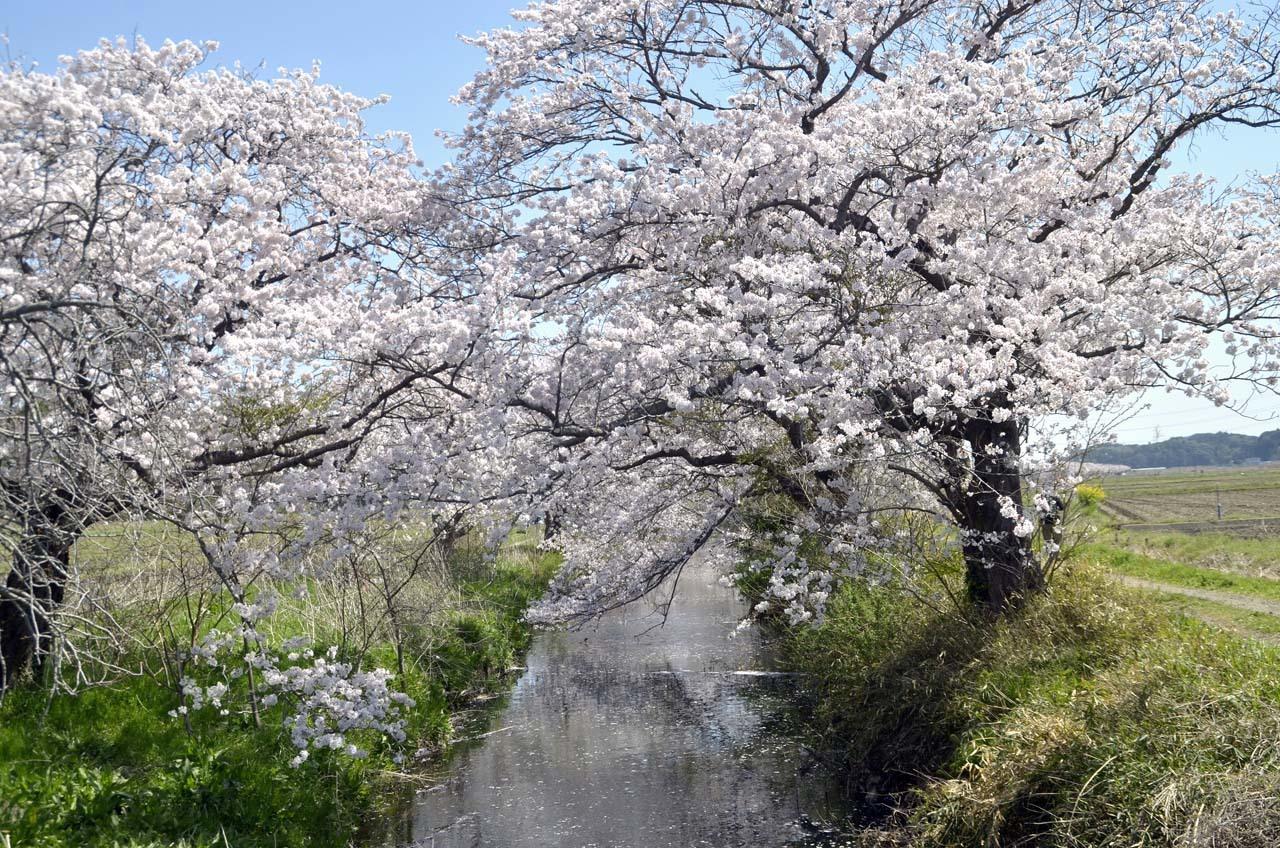 _D709809今井の桜