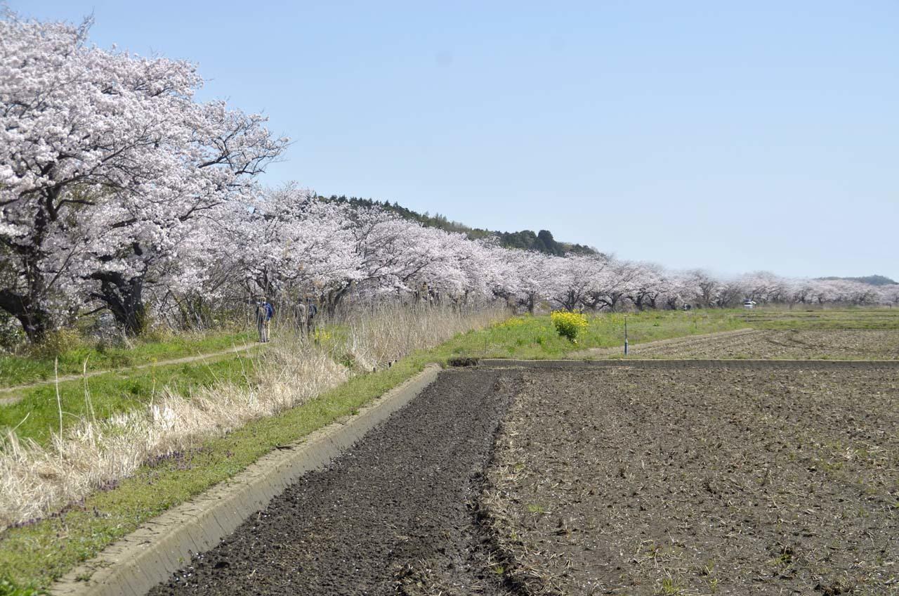 _D709815今井の桜