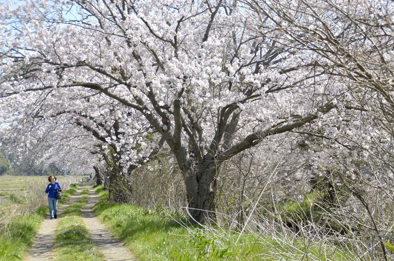 _D709828今井の桜