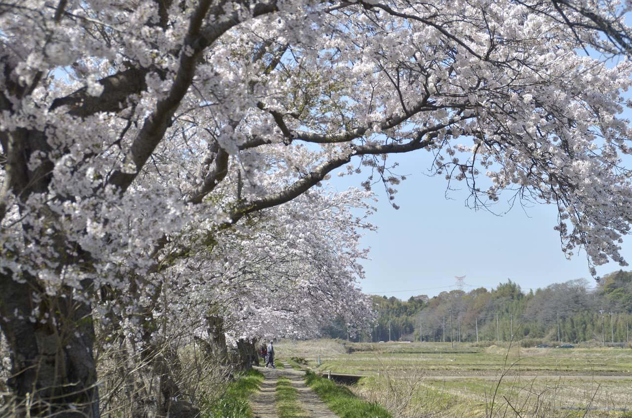 _D709832今井の桜