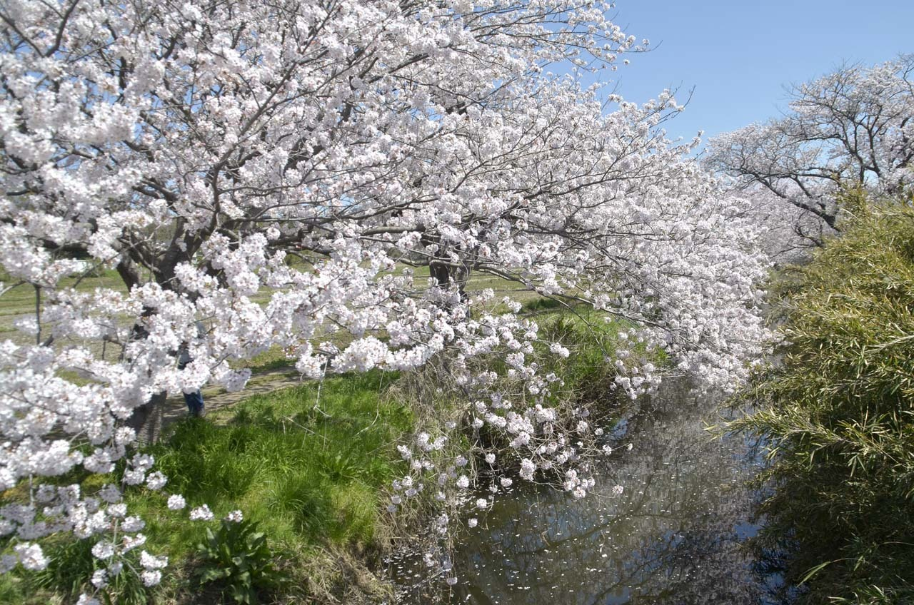 _D709847今井の桜