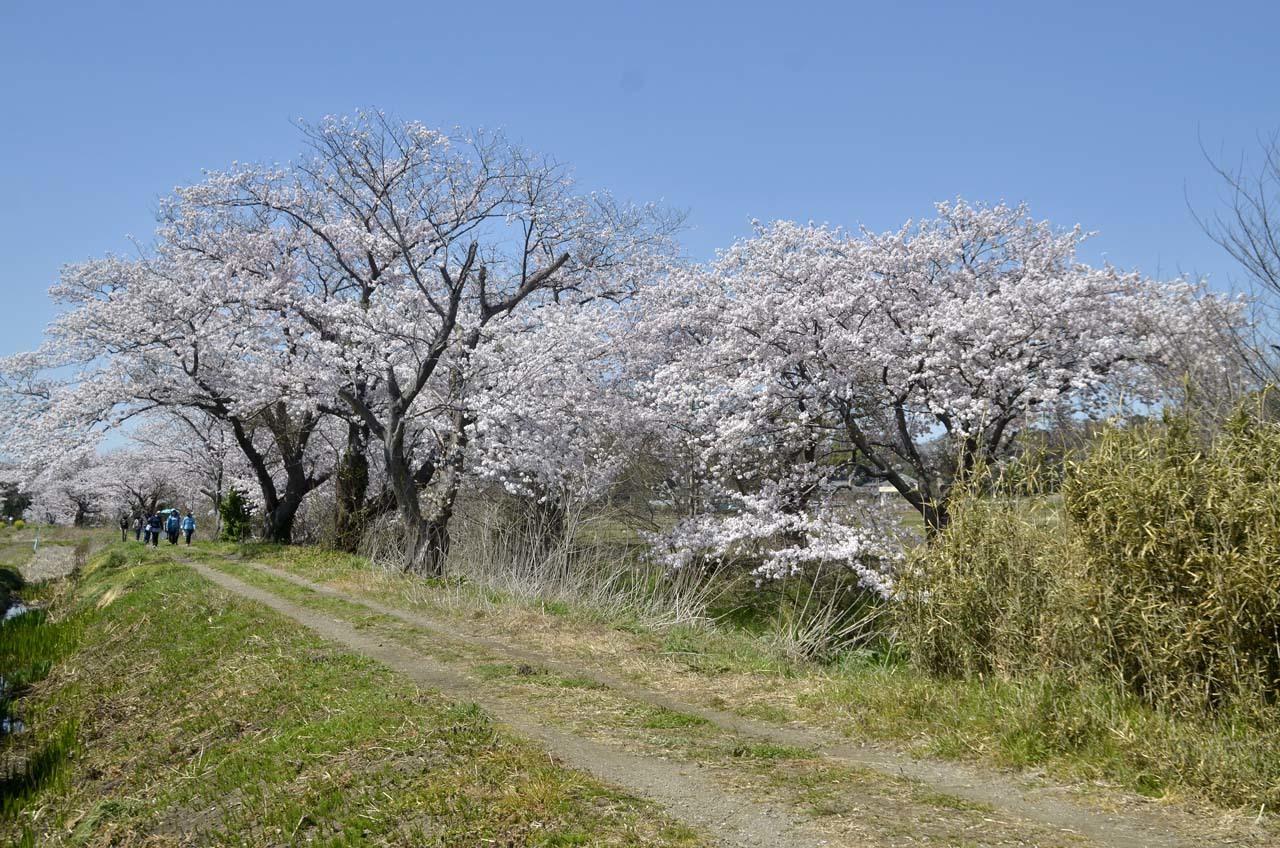 _D709848今井の桜