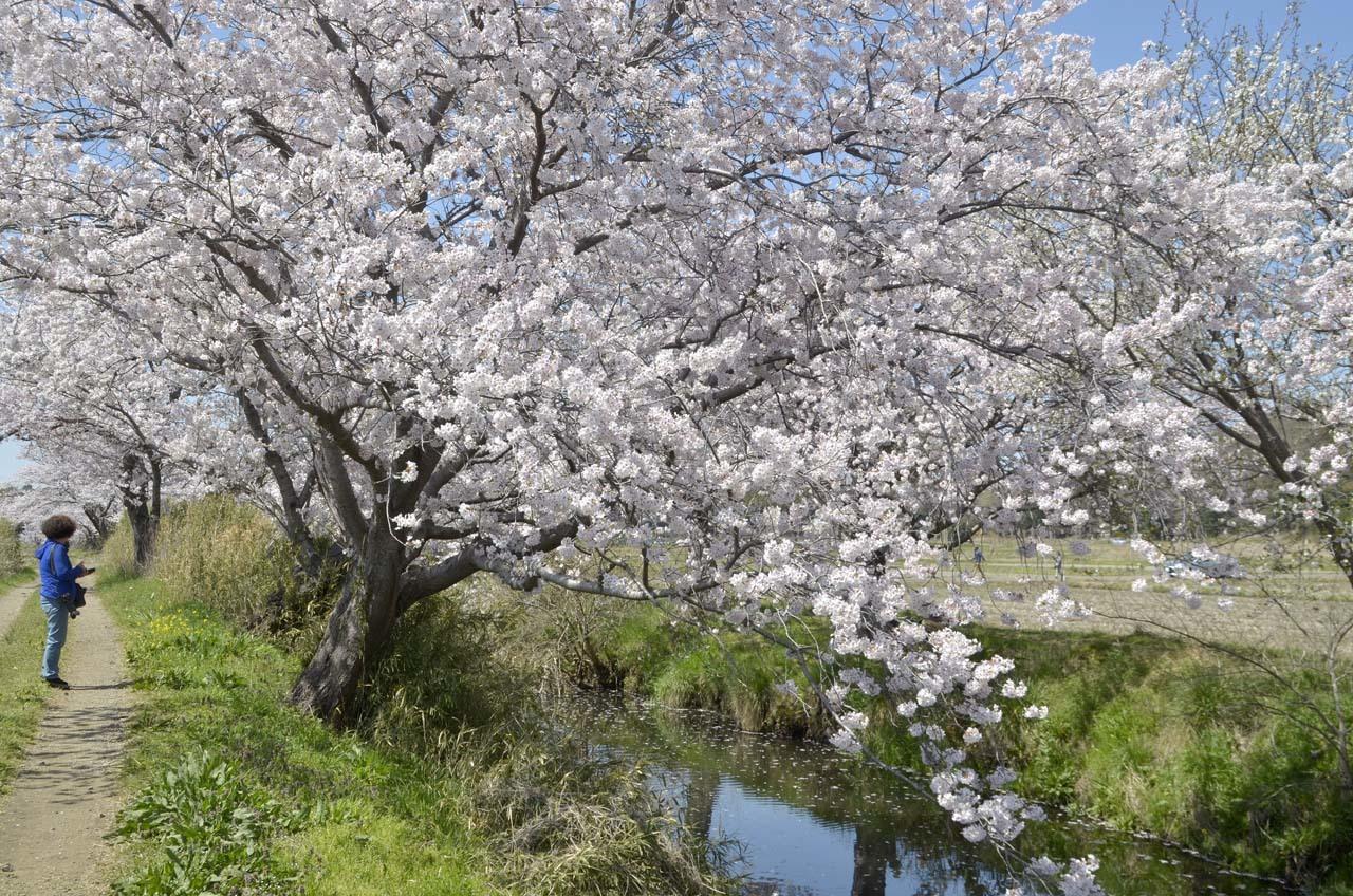 _D709860今井の桜