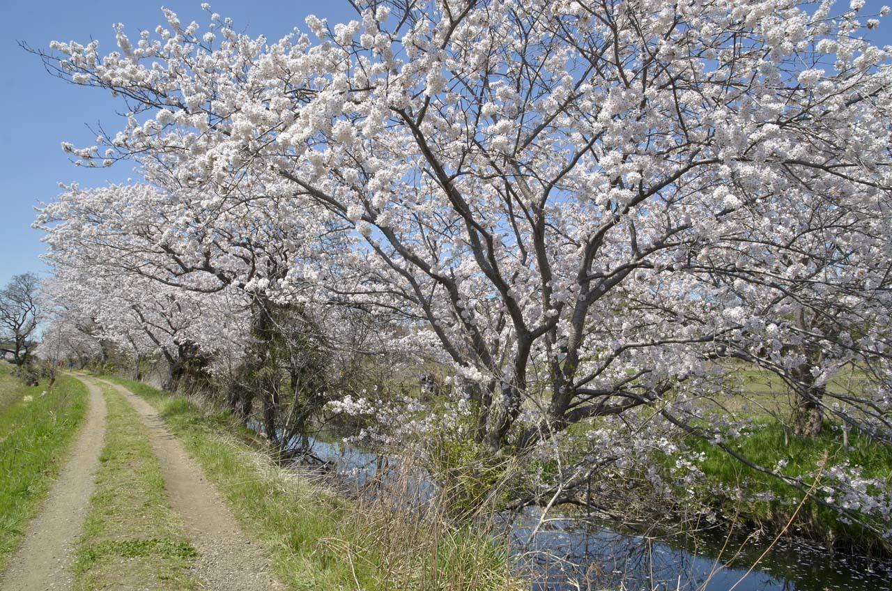 _D709865今井の桜