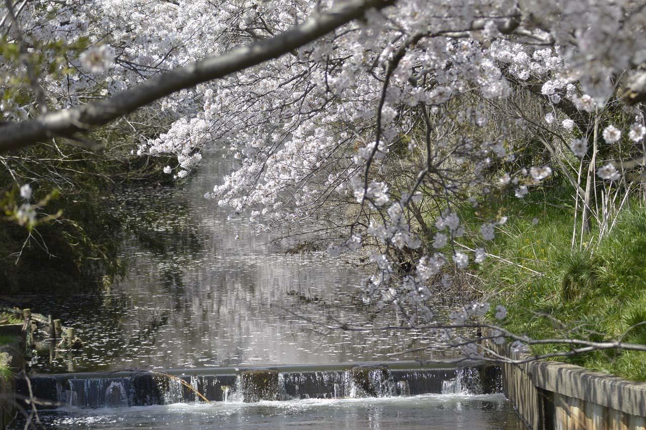 _DSC9741今井の桜