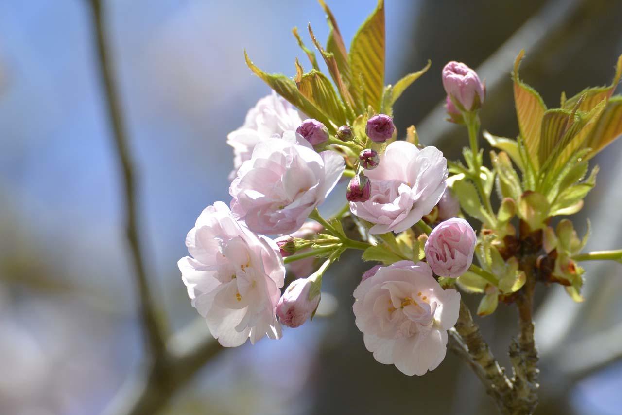 _DSC9769今井の桜