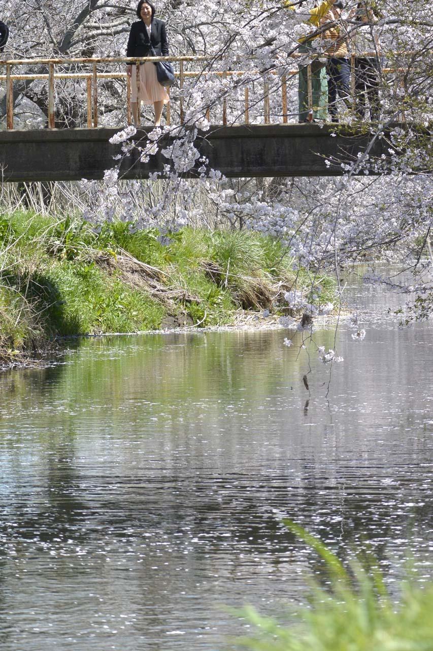 _DSC9780今井の桜