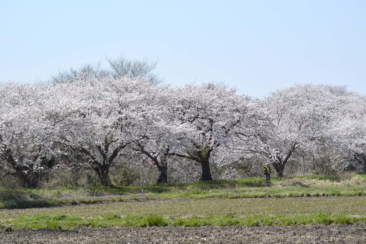 _DSC9785今井の桜