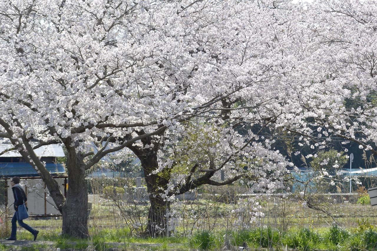 _DSC9787今井の桜