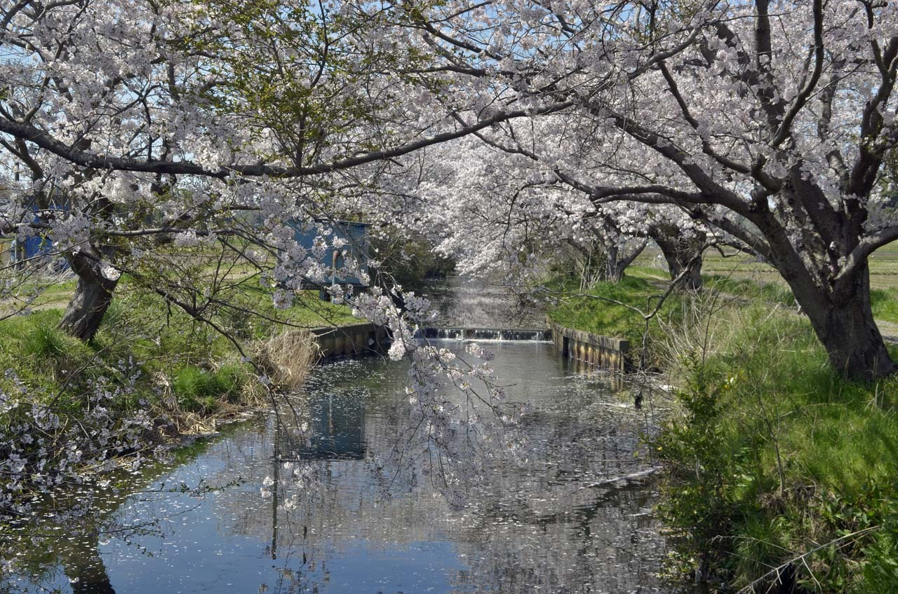 _D709888今井の桜