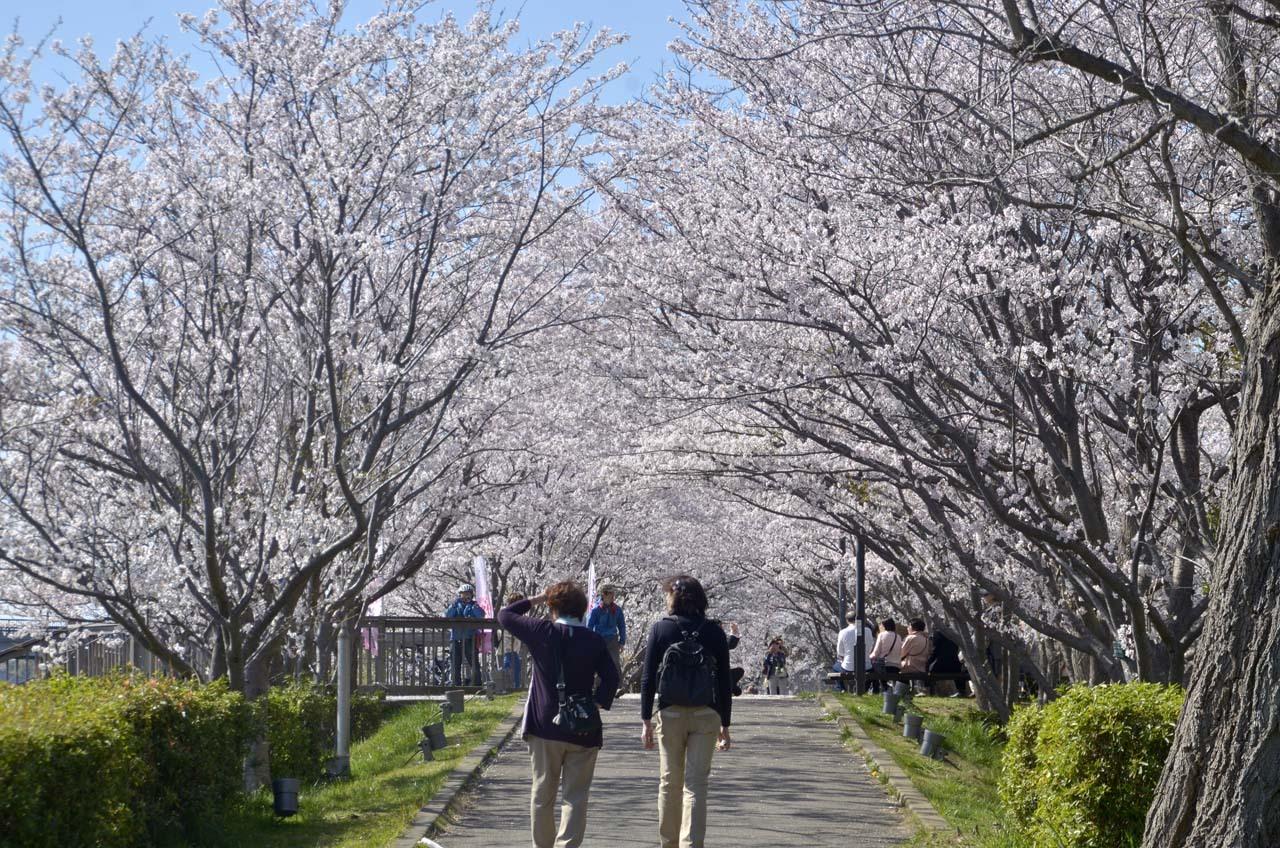_D709896近所の桜