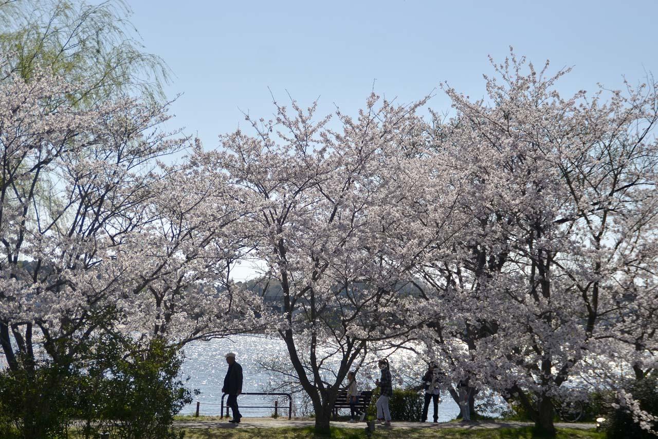 _D709935近所の桜