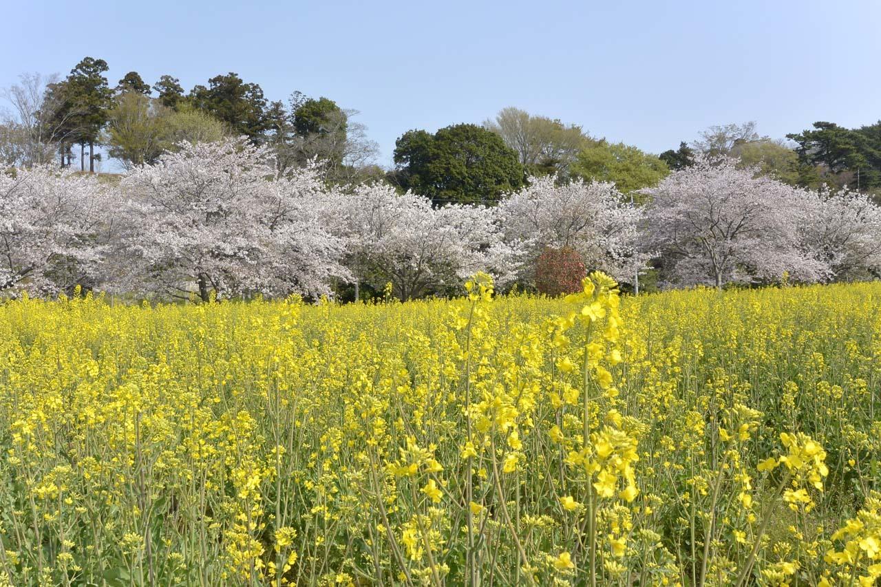 _DSC9813近所の桜