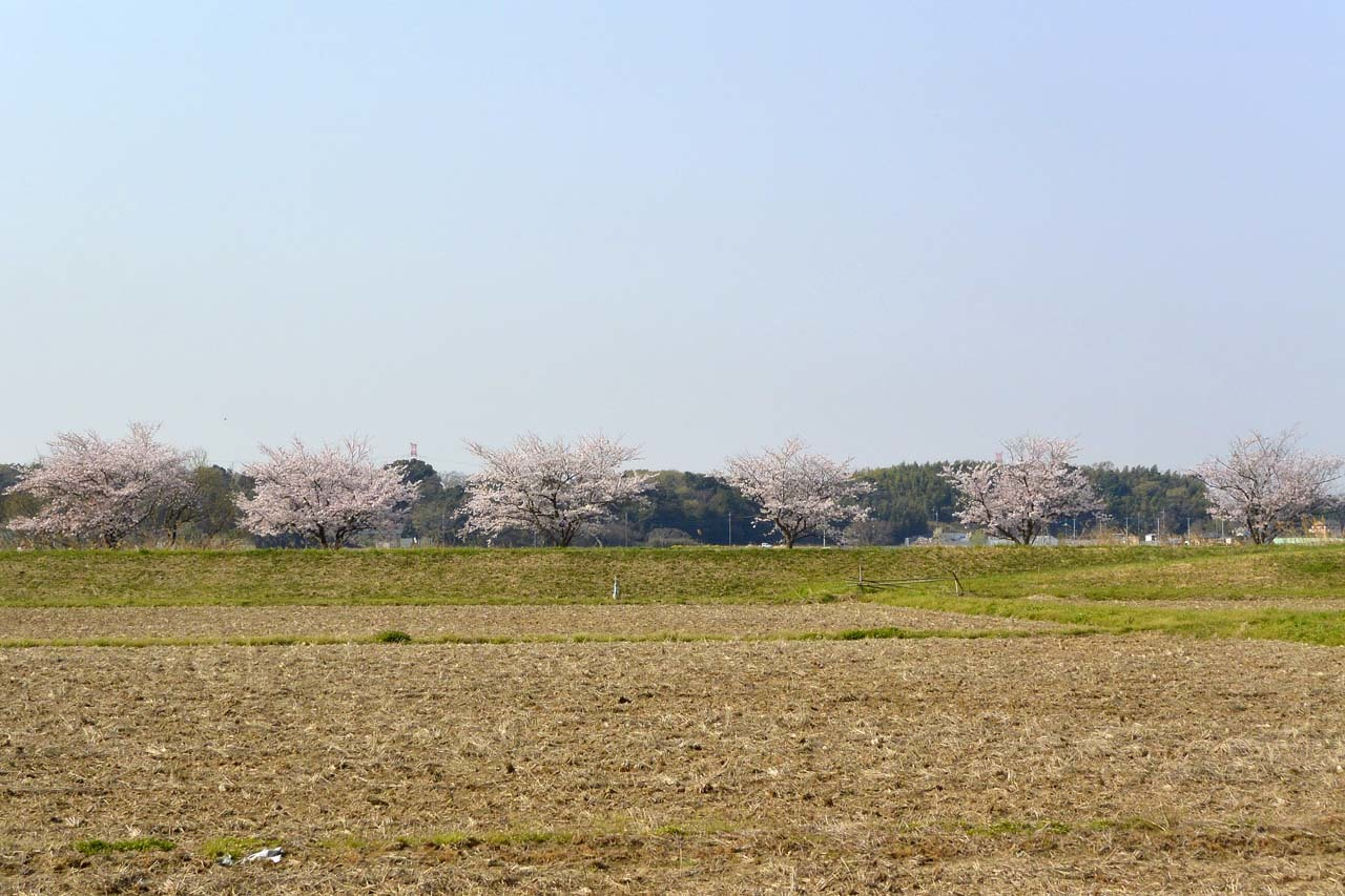 _DSC9804近所の桜